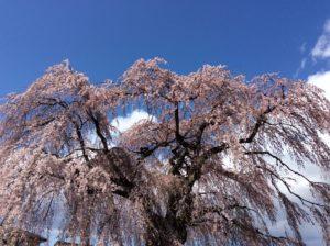 北斗市にある法亀寺のしだれ桜
