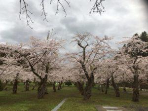 笹流ダム付近の桜